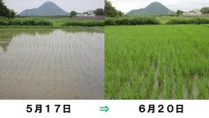 稲の育ち具合
