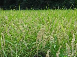 24年産水稲