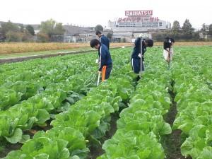 白菜畑の草刈り