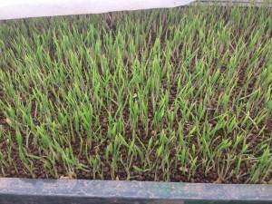 緑色の葉っぱを広げ始めた稲