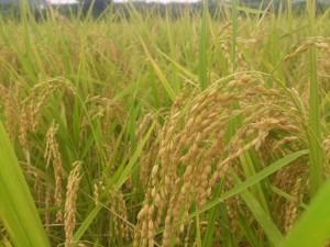 平成25年度稲