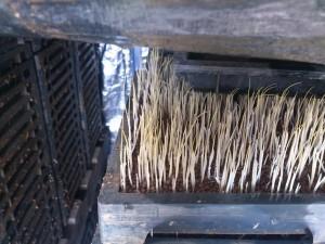 発芽したばかりの稲