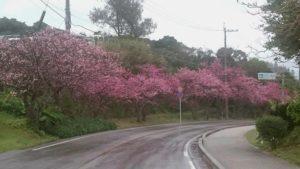 今帰仁村の桜