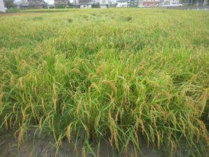 雨に濡れた稲
