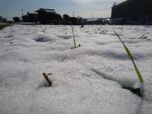 雪から顔を出した麦の葉