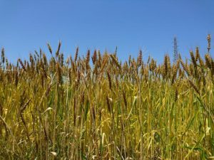 熟してきた麦