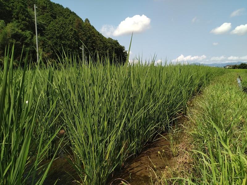 7月の稲の状況